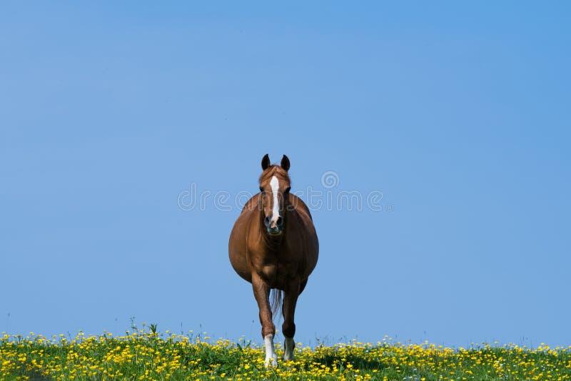 El caminar hacia adelante y centra un caballo en archivado de flores salvajes amarillas imagen de archivo libre de regalías