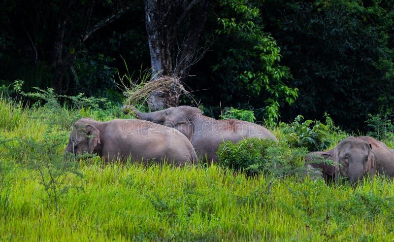 El caminar salvaje de los elefantes foto de archivo
