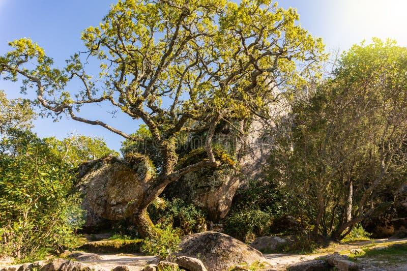 El caminar siguiendo la trayectoria entre árboles viejos grandes y cantos rodados de piedra enormes en el bosque imagen de archivo