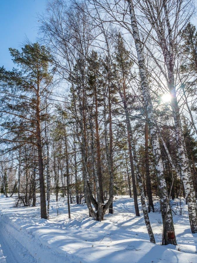 El camino del invierno pasa a través de un bosque hermoso que se hunde en la nieve debajo del sol brillante de Altai, Rusia imagen de archivo