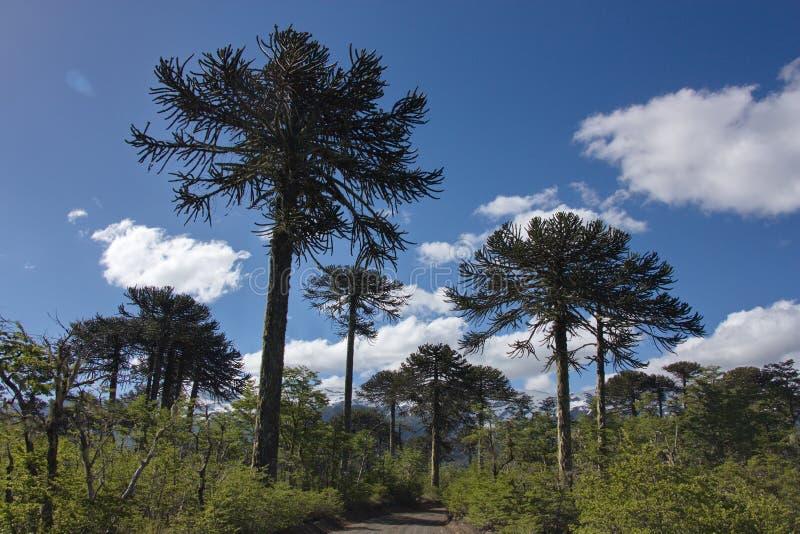 El camino en la madera de araucarias imagen de archivo