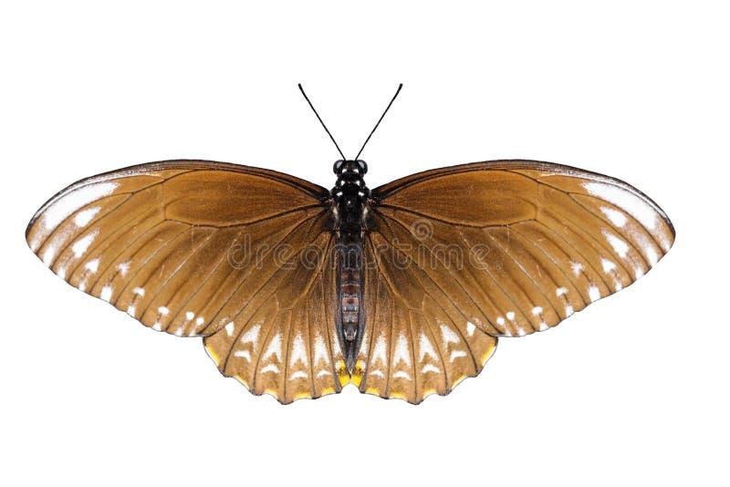 El campo común aislado de la hembra imita la mariposa fotos de archivo