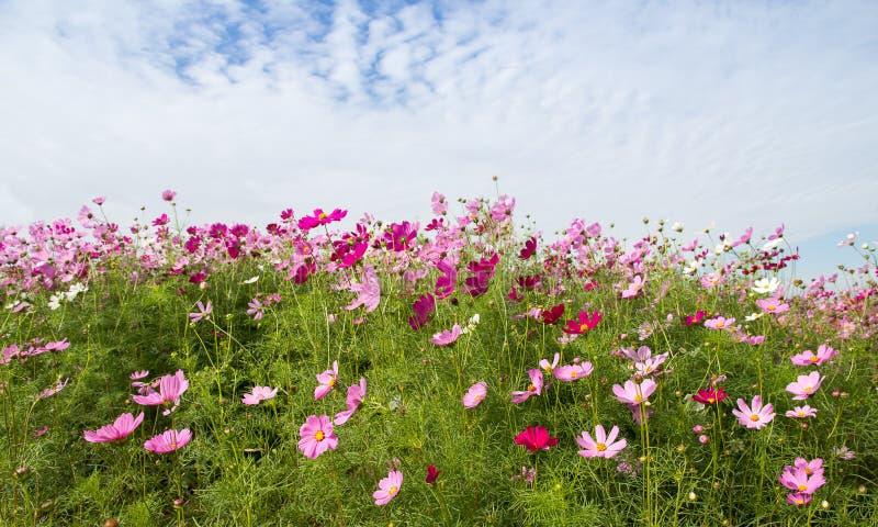 El campo de flor del cosmos con el cielo azul, estación de primavera florece imagenes de archivo