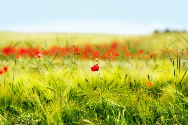 El campo de la amapola de maíz roja brillante florece en verano foto de archivo
