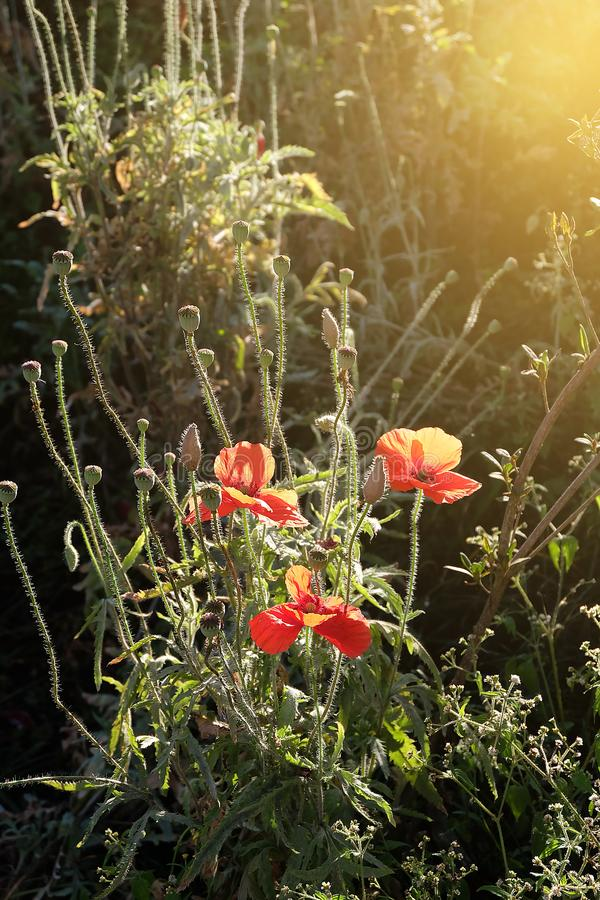El campo de la amapola de maíz roja brillante florece en luz del sol del verano fotos de archivo