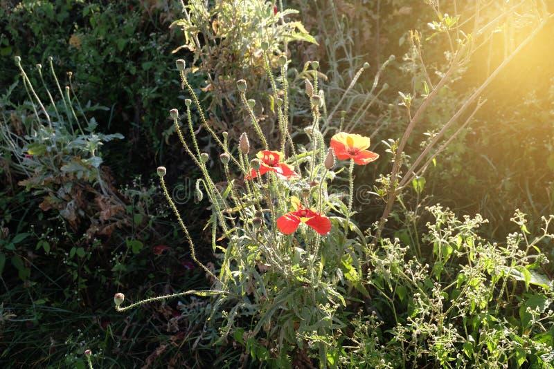 El campo de la amapola de maíz roja brillante florece en verano fotos de archivo libres de regalías