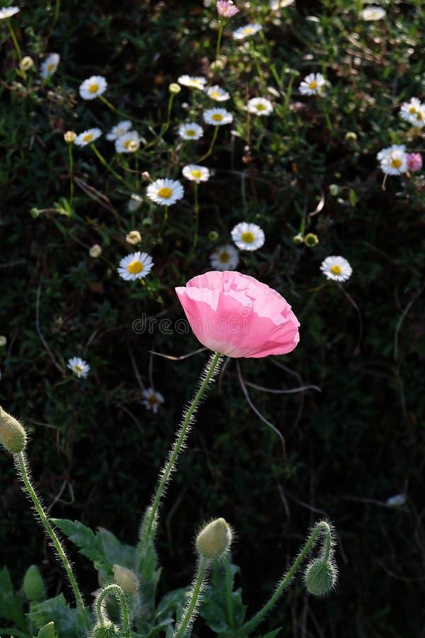 El campo de la amapola de maíz roja brillante florece en verano imagen de archivo