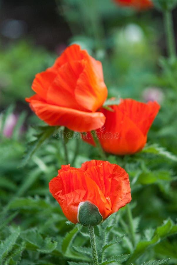 El campo de la amapola de maíz roja brillante florece en verano imágenes de archivo libres de regalías