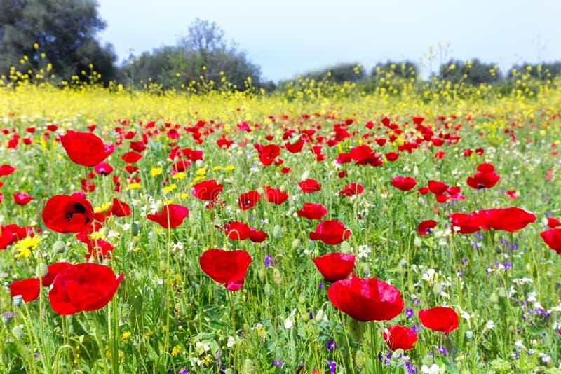 El campo de la amapola roja florece con las plantas amarillas de la rabina imágenes de archivo libres de regalías