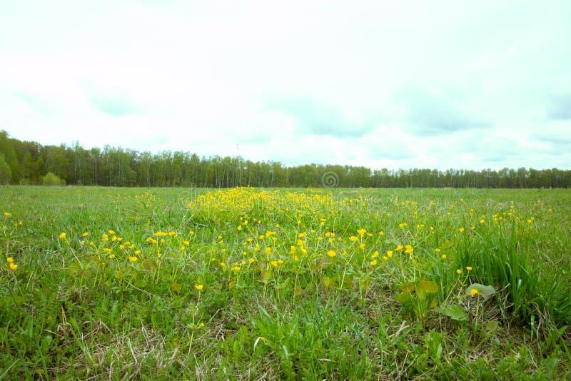 El campo de la primavera en puede con las flores amarillas fotografía de archivo libre de regalías