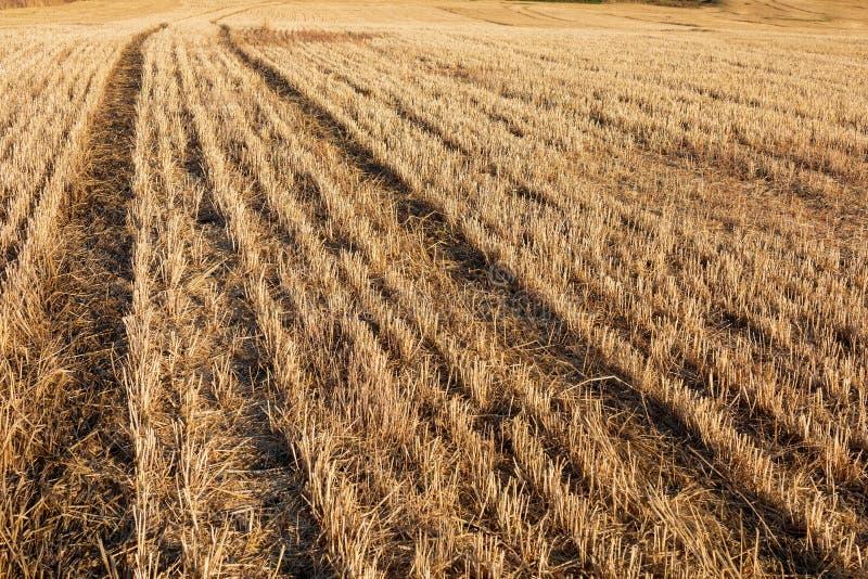 El campo de los cereales trigo, cebada, avena cosechó segado fotografía de archivo