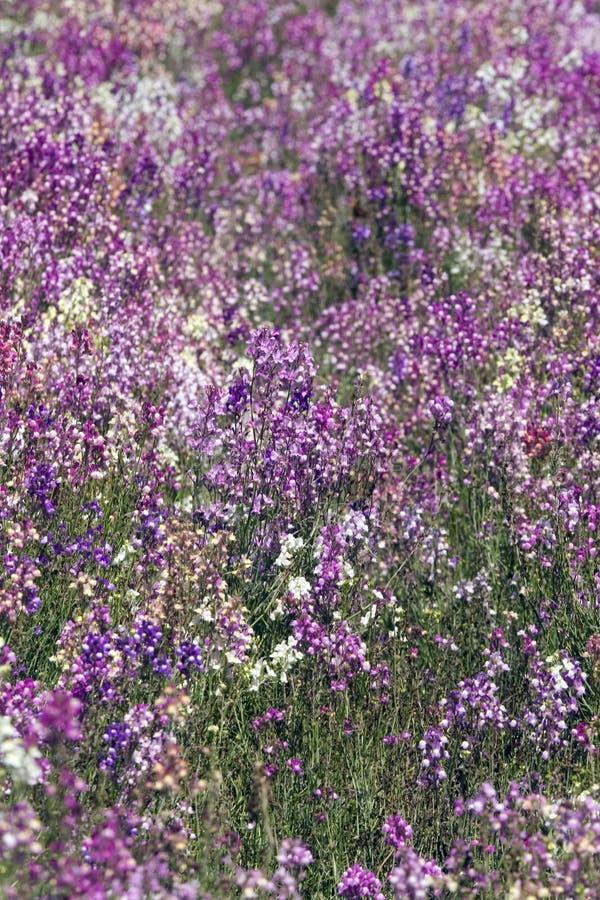 El campo de Toadflax/estimuló las flores de Snapdragon fotos de archivo