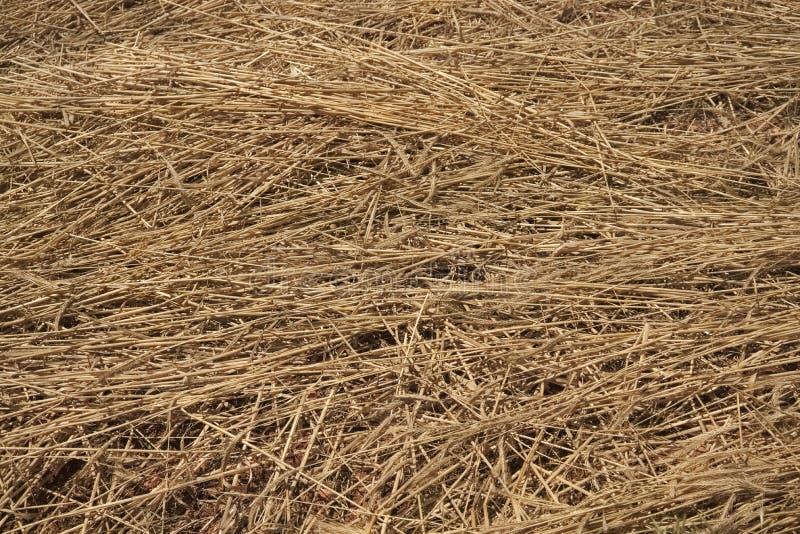 El campo de trigo maduro segó ya abajo y mentira lista en la tierra fotografía de archivo