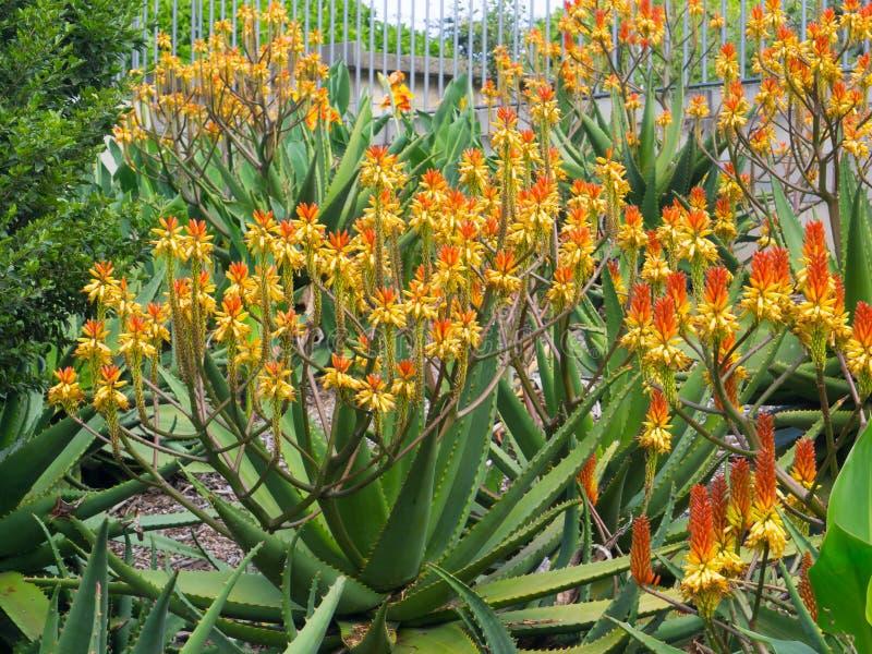 El campo del áloe de florecimiento de la montaña en colores amarillos y anaranjados en un jardín botánico imagen de archivo
