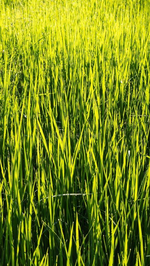 El campo del arroz después de lluvias imagenes de archivo