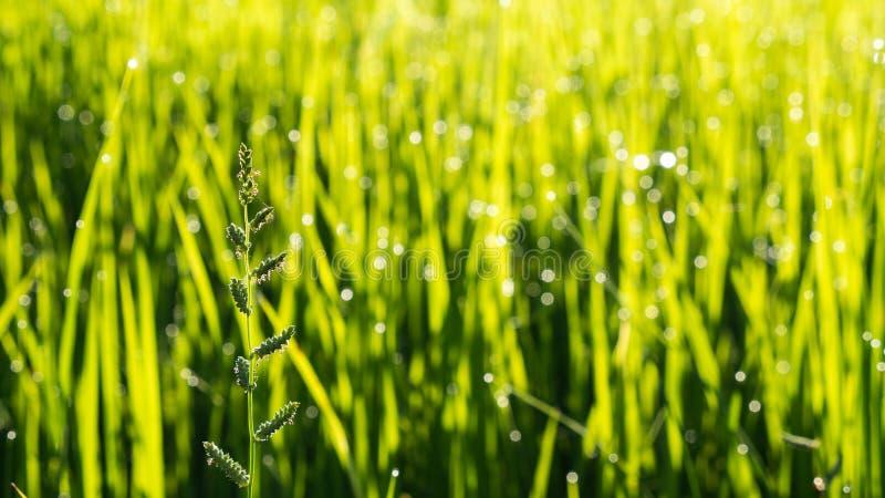 El campo del arroz después de lluvias fotografía de archivo libre de regalías