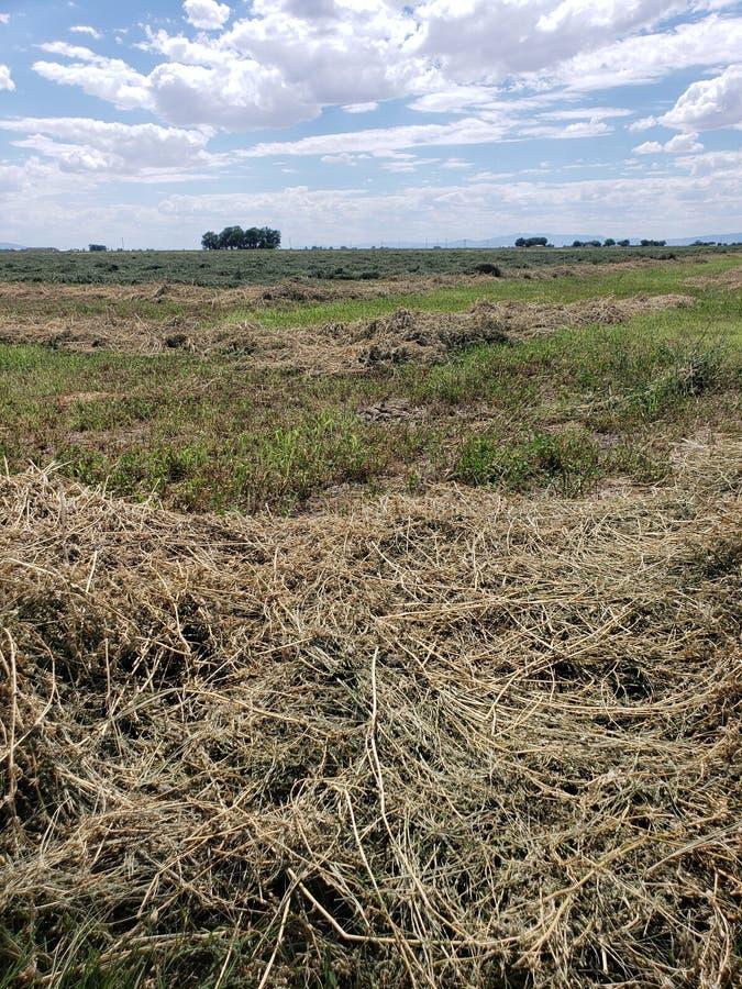 El campo del heno de la alfalfa redujo y alista para afianzar fotografía de archivo