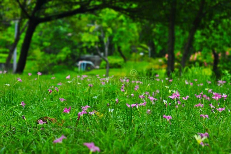 El campo del lirio rosado-púrpura de Zephyranthes o del lirio de la lluvia florece en el jardín, flores del tulipán de Tailandia, foto de archivo