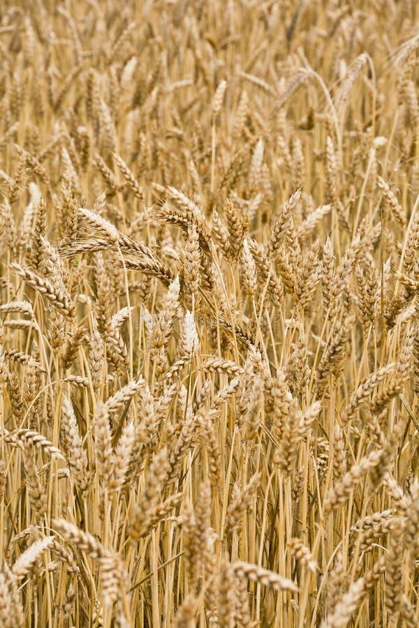 El campo del trigo maduro foto de archivo