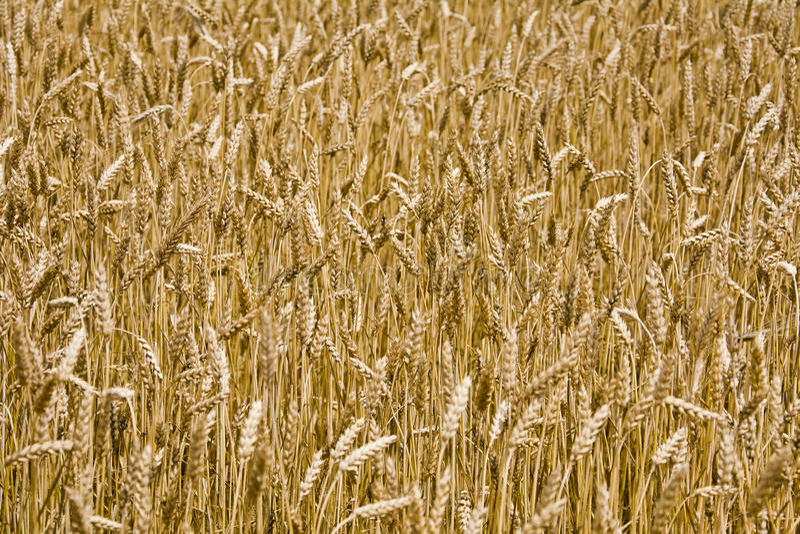 El campo del trigo maduro imagen de archivo