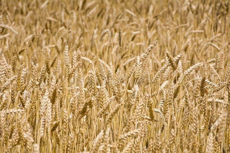 El campo del trigo maduro fotografía de archivo libre de regalías