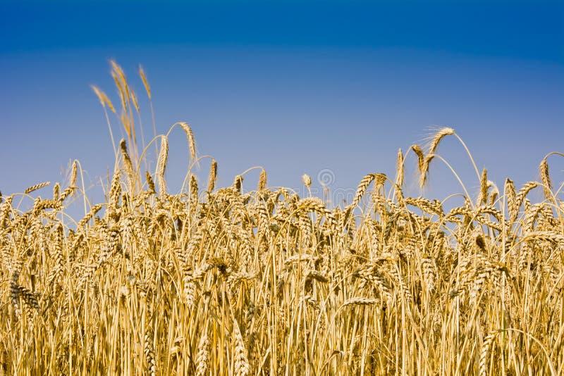 El campo del trigo maduro imagenes de archivo