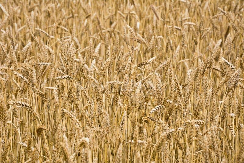 El campo del trigo maduro fotos de archivo libres de regalías