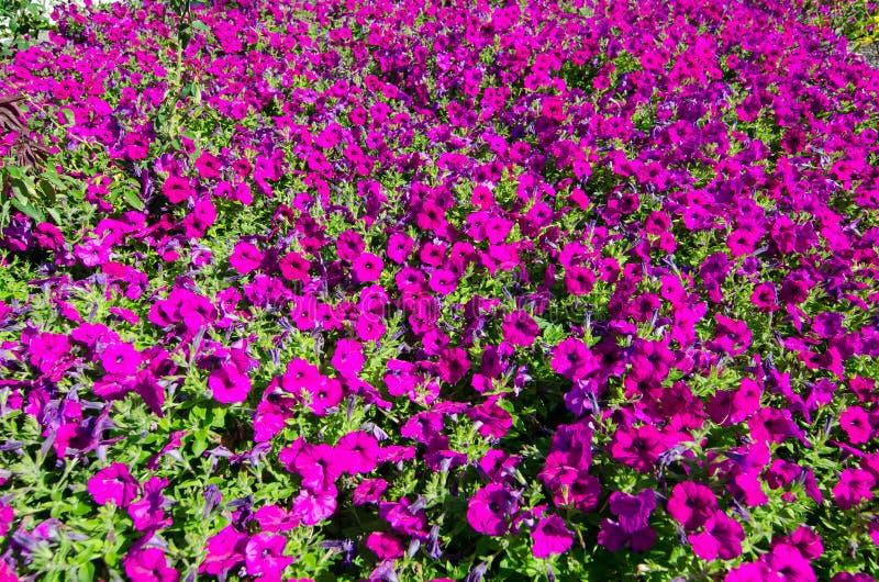 El campo del ` violeta de Ramblin del ` del hybrida de la petunia x florece en una estación de primavera en un jardín botánico fotografía de archivo libre de regalías