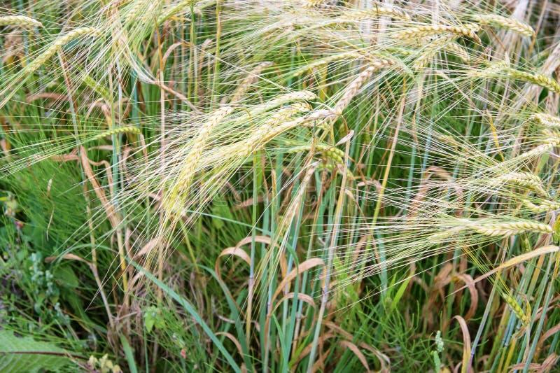 El campo es sembrado de centeno, orejas maduras de centeno foto de archivo