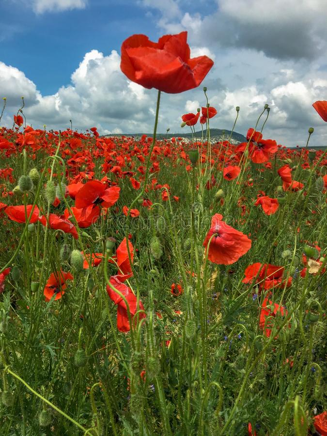 El campo hermoso de poppys imagen de archivo