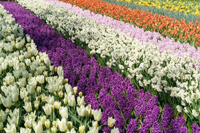 El campo rayado por los dafodils rojos de los tulipanes, púrpuras y rosados de los hyacints, blancos y amarillos en día soleado d fotos de archivo
