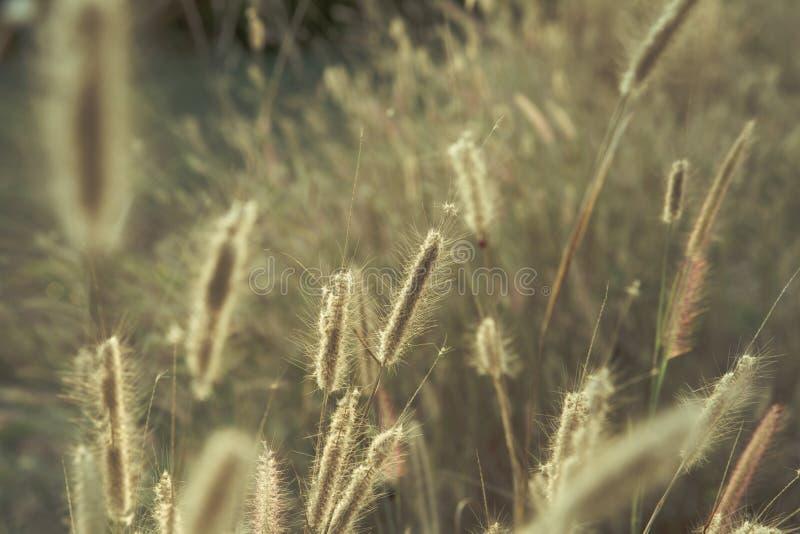 El campo salvaje de la hierba en puesta del sol, sol suave irradia, tono caliente, lente fotos de archivo libres de regalías