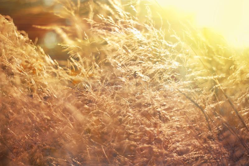 El campo salvaje de la hierba en puesta del sol, sol suave irradia, tono caliente, llamaradas de la lente, DOF bajo Prado asolead imagenes de archivo