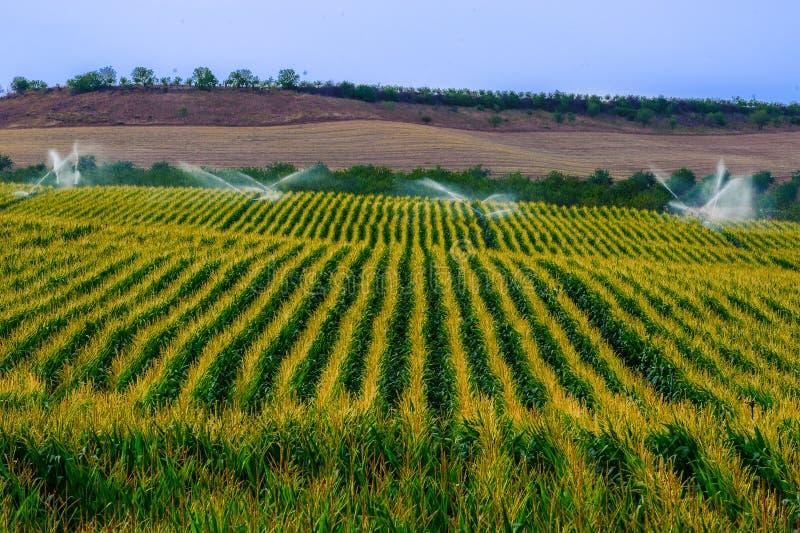 El campo verde con la cosecha creciente del maíz sprinckled por el agua usando imagen de archivo
