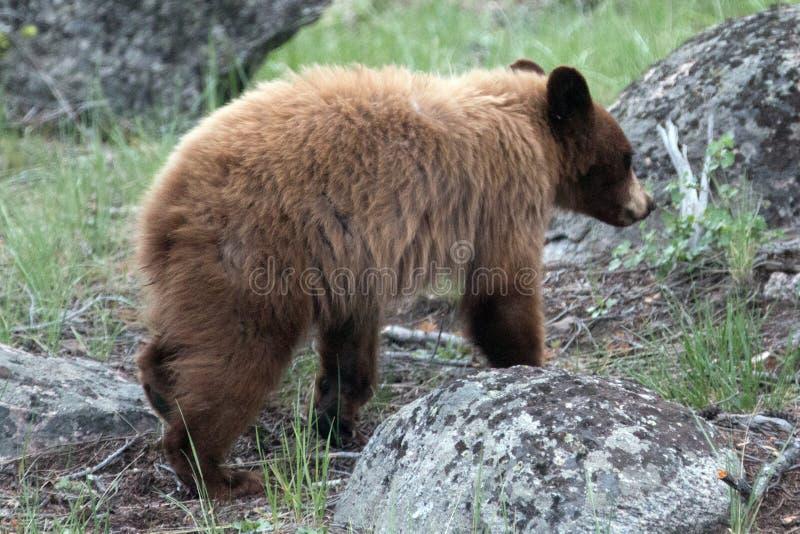 El canela coloreó el oso negro americano Cub de un año ( Ursus americanus) en el área de Roosevelt Lodge de YNP imagen de archivo libre de regalías