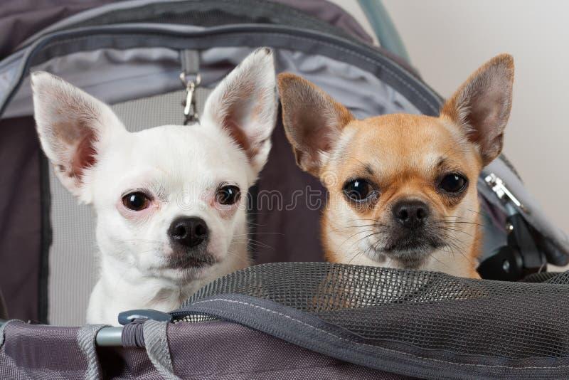 El canela y la chihuahua blanca se están sentando en str cómodo del animal doméstico fotografía de archivo