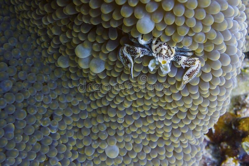 El cangrejo de la porcelana cohabita en anémona de mar del capellán Burgos, Leyte, Filipinas imagen de archivo libre de regalías