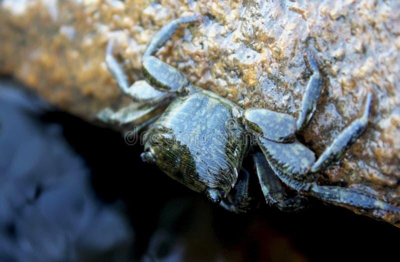 El cangrejo de orilla rayado, alineó el cangrejo de orilla fotografía de archivo libre de regalías