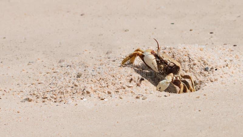 El cangrejo hermoso imagen de archivo