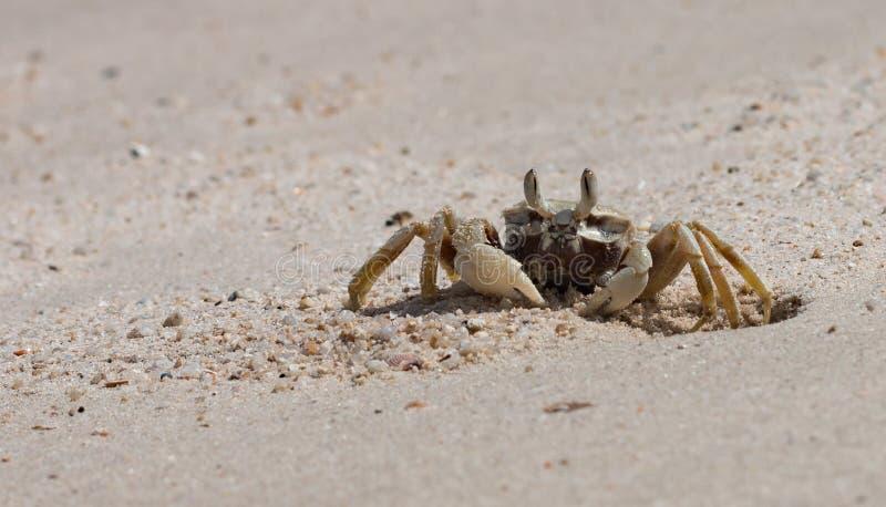 El cangrejo hermoso imagen de archivo libre de regalías