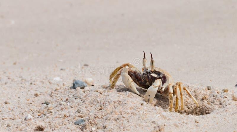 El cangrejo hermoso fotografía de archivo libre de regalías