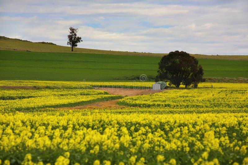 El Canola cosecha Australia rural foto de archivo libre de regalías