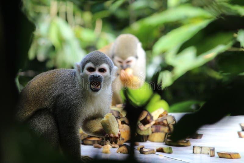 El capuchón monkeys la consumición de los plátanos, selva tropical amazónica, Ecuador fotografía de archivo
