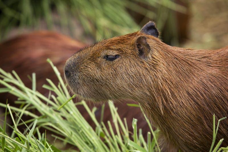 El capybara es un natural del mamífero a Suramérica Es el larg fotos de archivo libres de regalías