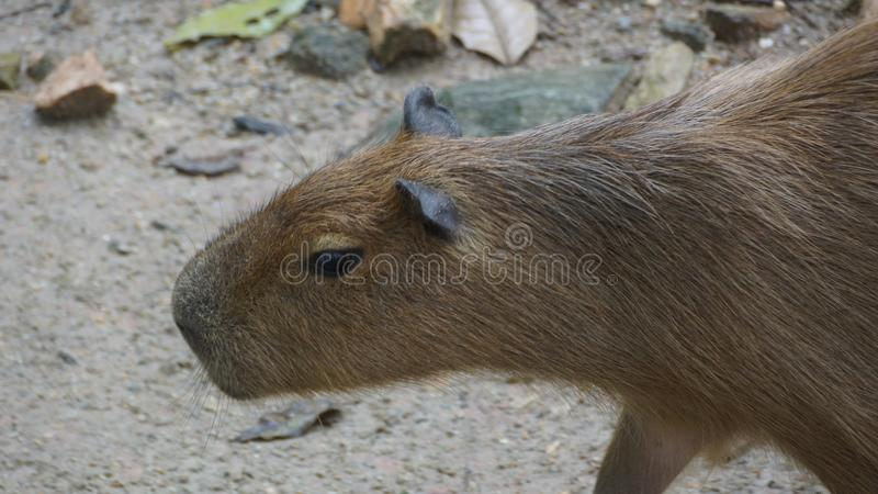 El Capybara es un natural del mamífero a Suramérica Es el roedor vivo más grande del mundo También llamó ira del ¼ del chigà fotografía de archivo libre de regalías