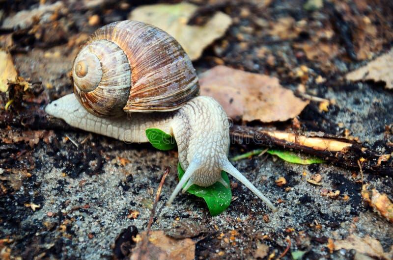 El caracol con las antenas largas se cierra para arriba, caminando lentamente en tierra pedregosa foto de archivo