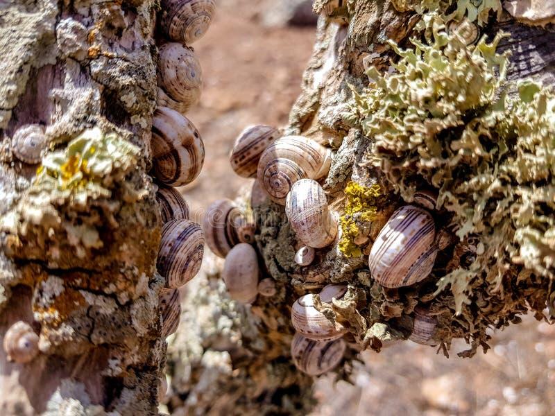 el caracol del bosque del grupo, nemoralis de Cepaea se sienta en la rama en la isla de Lanzarote, Espa?a foto de archivo