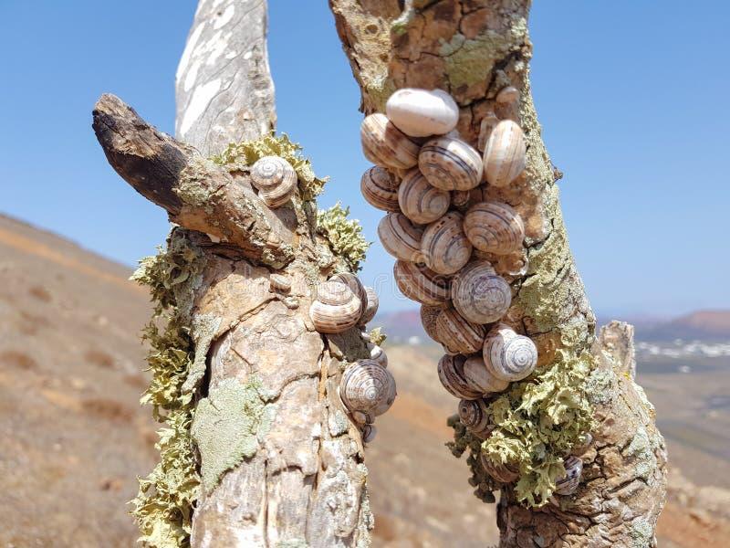 el caracol del bosque del grupo, nemoralis de Cepaea se sienta en la rama en la isla de Lanzarote, Espa?a imagenes de archivo