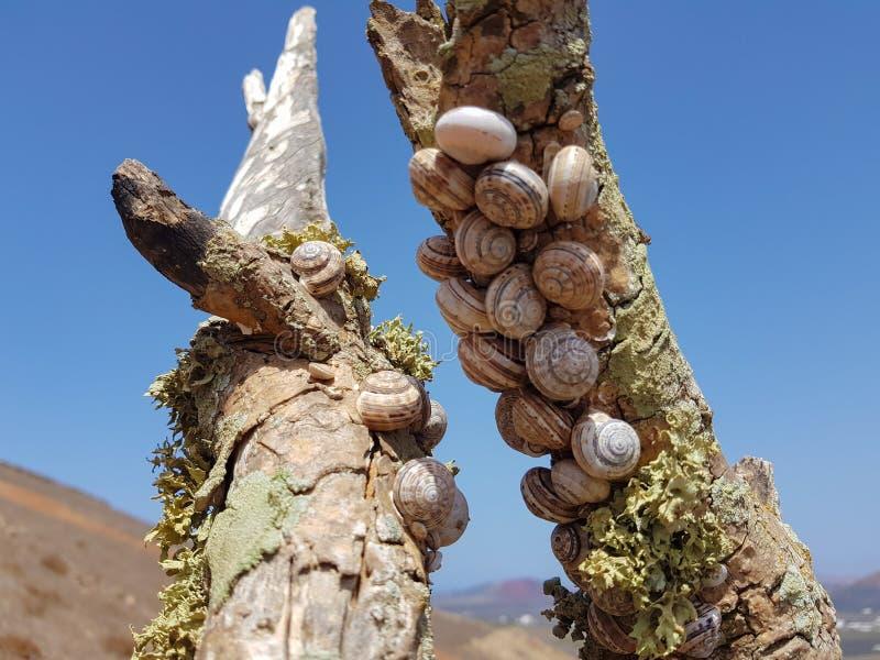 el caracol del bosque del grupo, nemoralis de Cepaea se sienta en la rama en la isla de Lanzarote, Espa?a fotografía de archivo libre de regalías