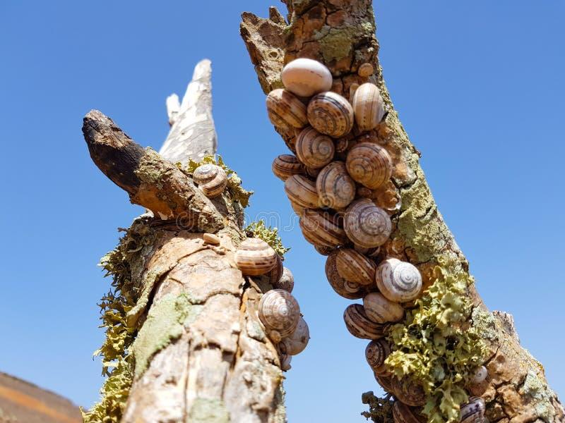 el caracol del bosque del grupo, nemoralis de Cepaea se sienta en la rama en la isla de Lanzarote, Espa?a fotografía de archivo